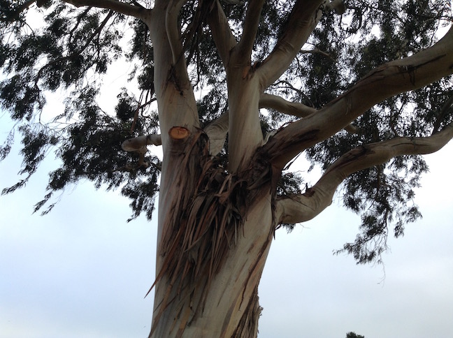 eucalyptus tree at great meadow